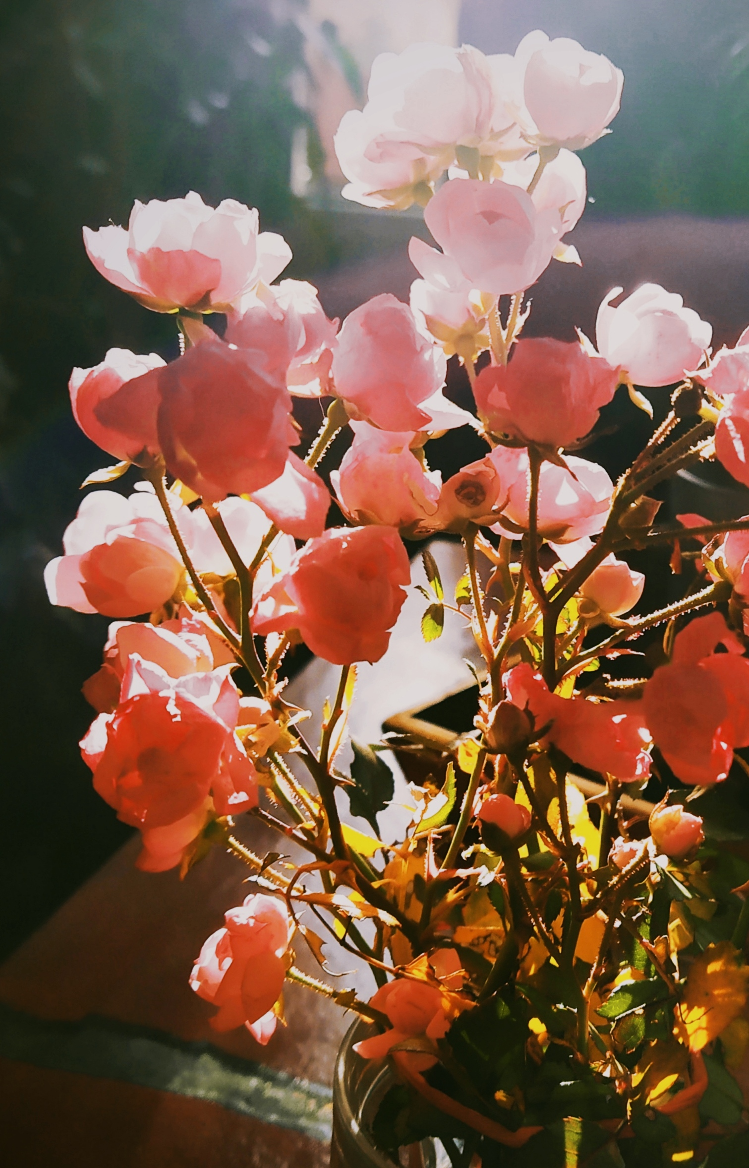 roses_decembre